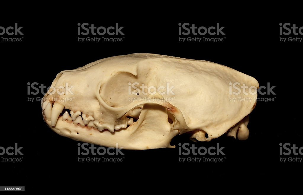 Ferret royalty-free stock photo