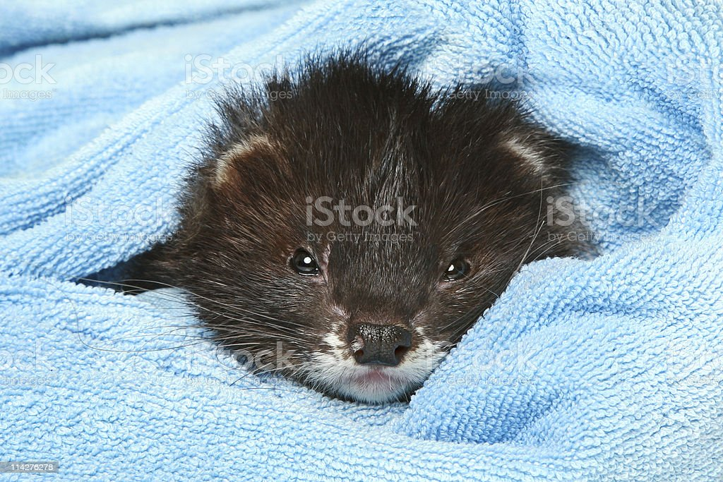 Ferret sleeps in soft blanket on a white background stock photo