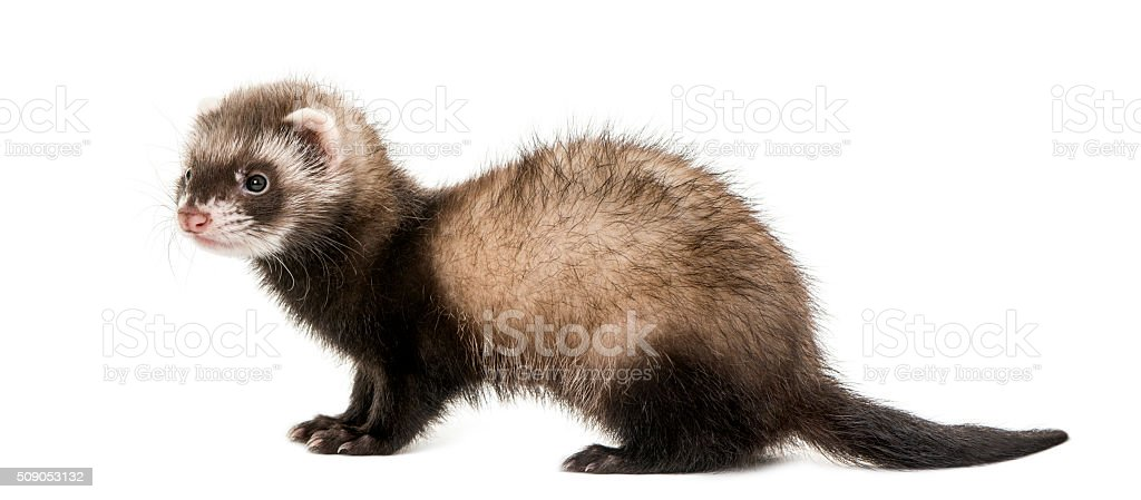 Ferret standing in front of a white background stock photo