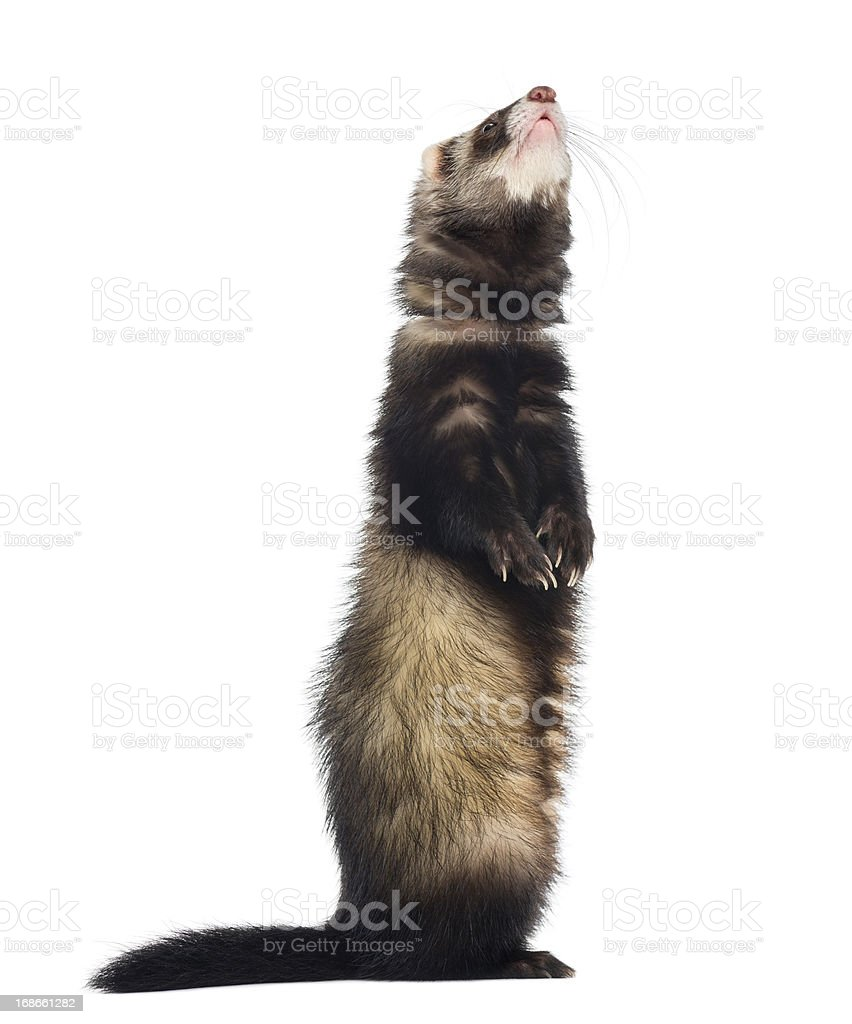 Ferret standing on hind legs and looking up, isolated royalty-free stock photo