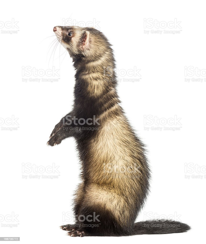 Ferret standing on hind legs and looking up stock photo