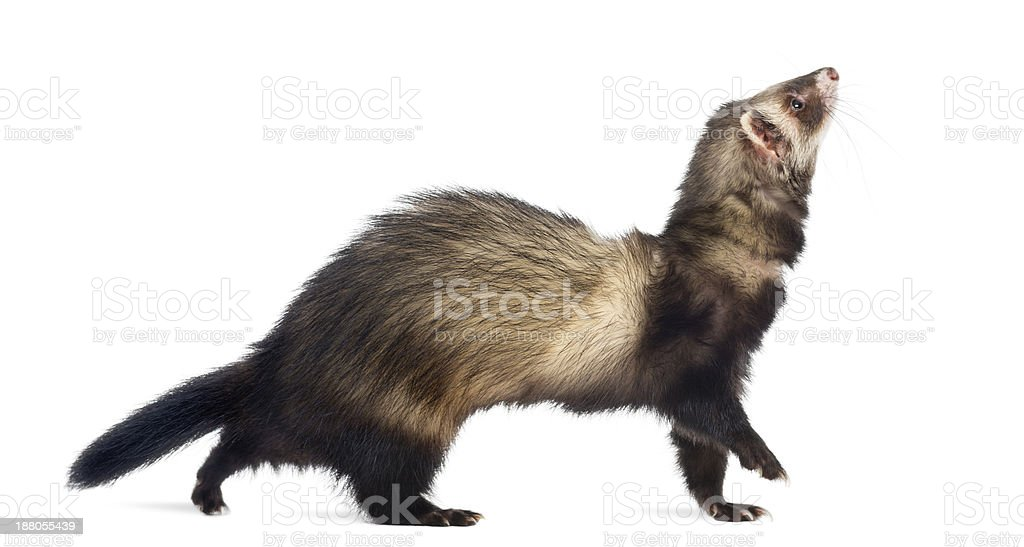 Ferret walking and looking up, isolated on white royalty-free stock photo