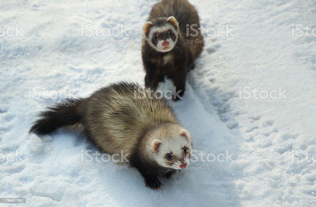 Ferrets stock photo
