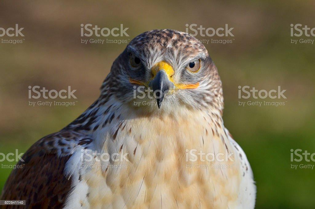 Ferruginous buzzard, Buteo regalis stock photo