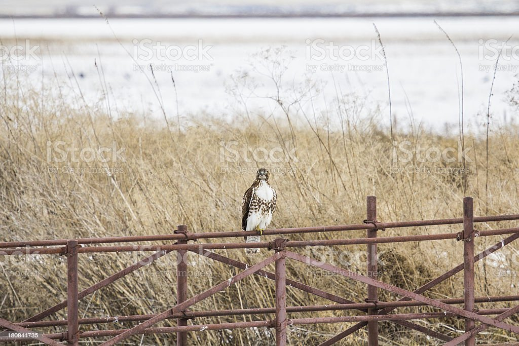Ferruginous Hawk at refuge stock photo