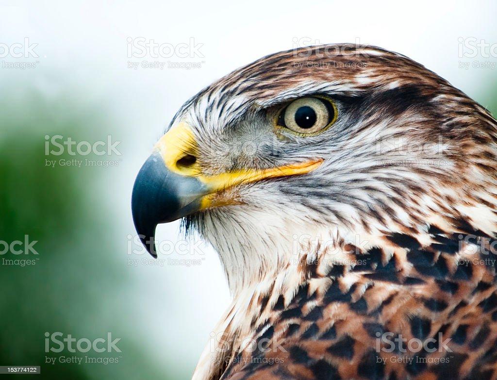 Ferruginous Hawk Bird of Prey Headshot stock photo