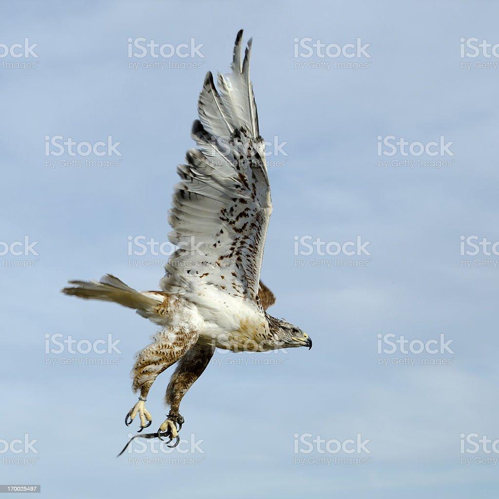 ferruginous hawk  Buteo regalis stock photo