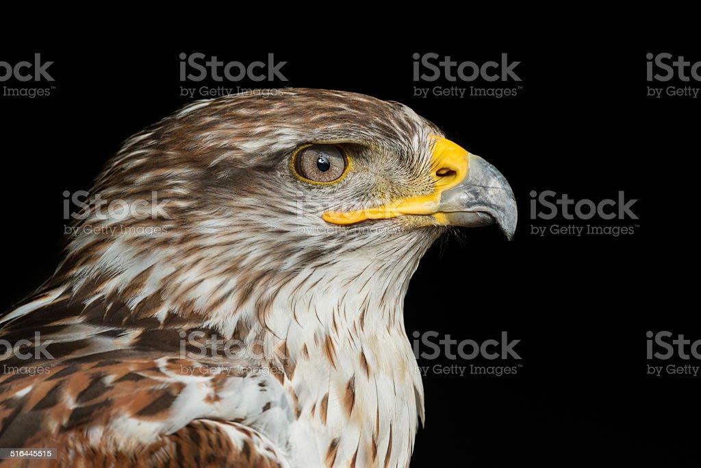 Ferruginous hawk [Buteo regalis] stock photo