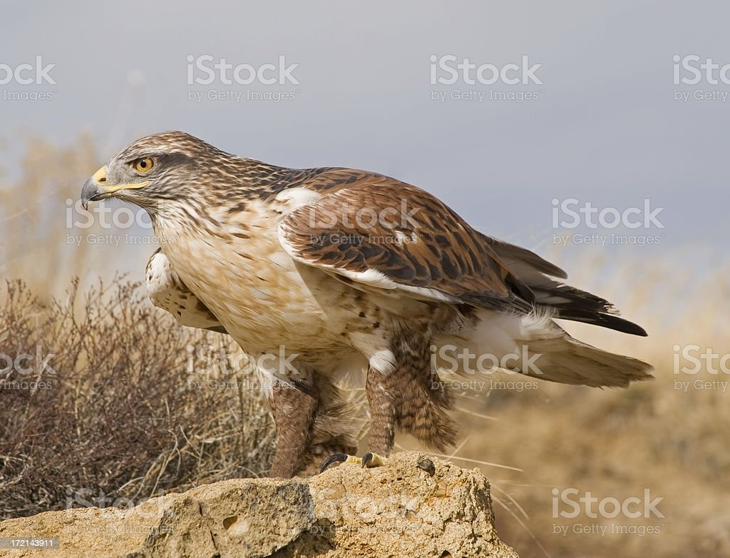 Ferruginous Hawk in the Prairie stock photo