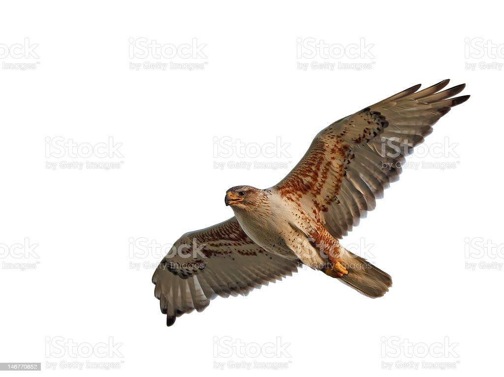 Ferruginous Hawk Isolated stock photo