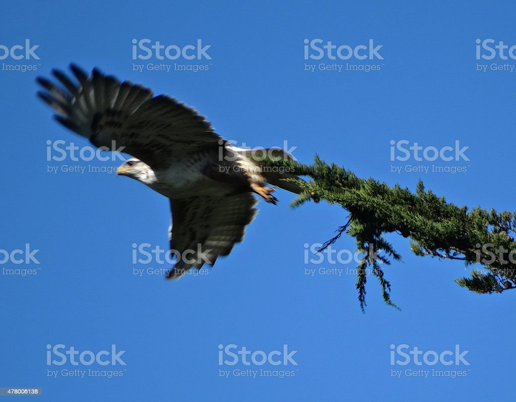 Ferruginous Hawk Launch stock photo