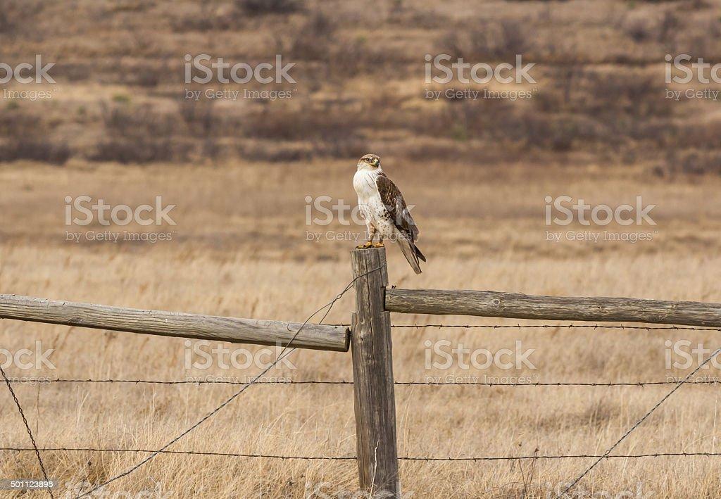 Ferruginous Hawk (Buteo regalis) on Fence Post stock photo