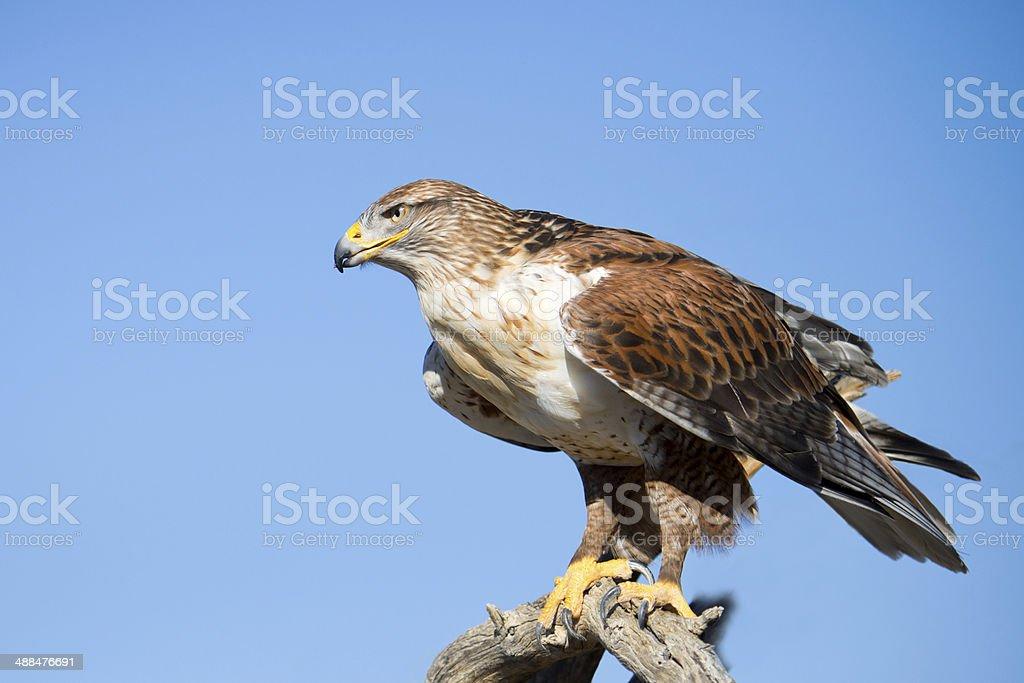 Ferruginous Hawk perching stock photo