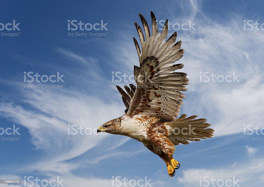 Ferruginous Hawk stock photo