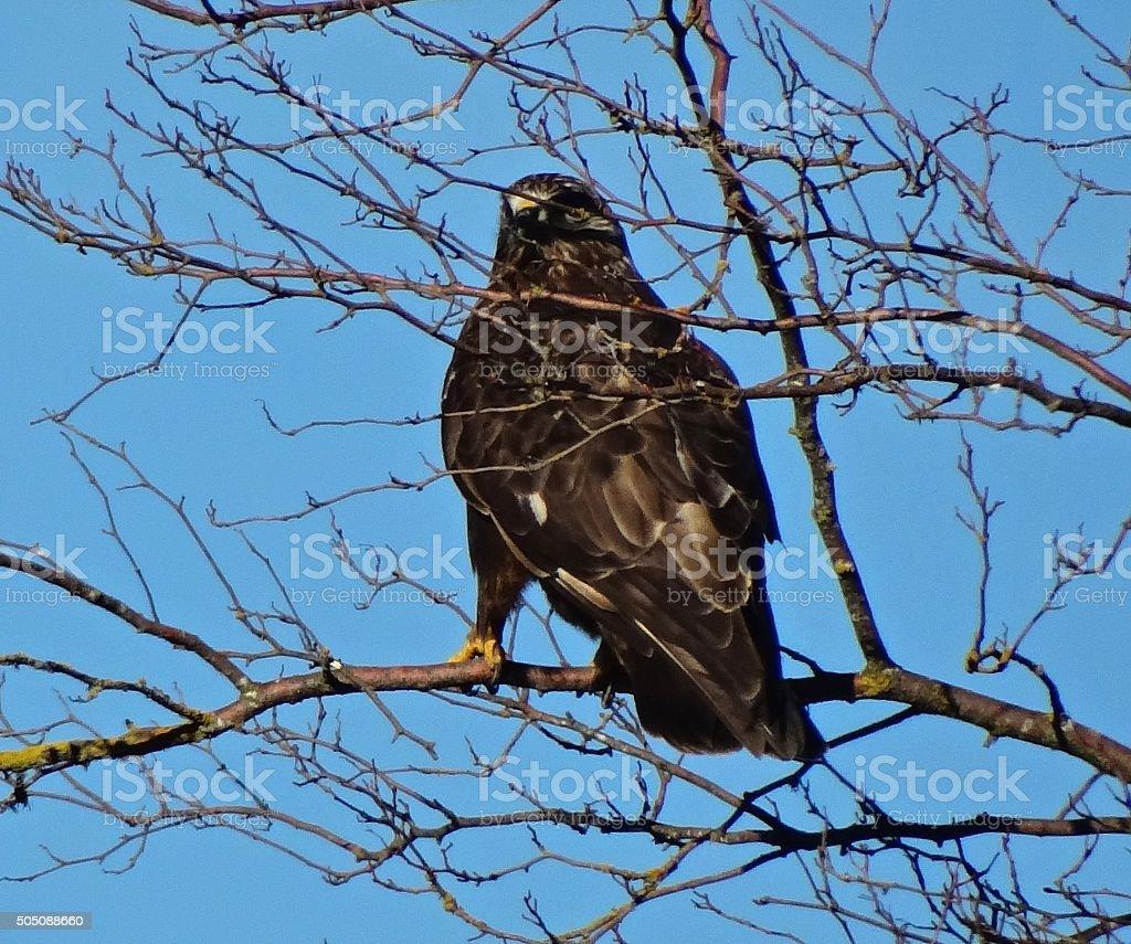 Ferruginous Hawk Warrior stock photo