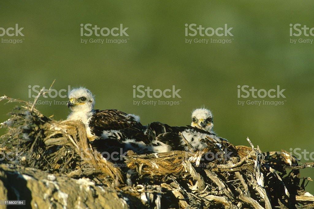 Ferruginous Hawks on Nest stock photo