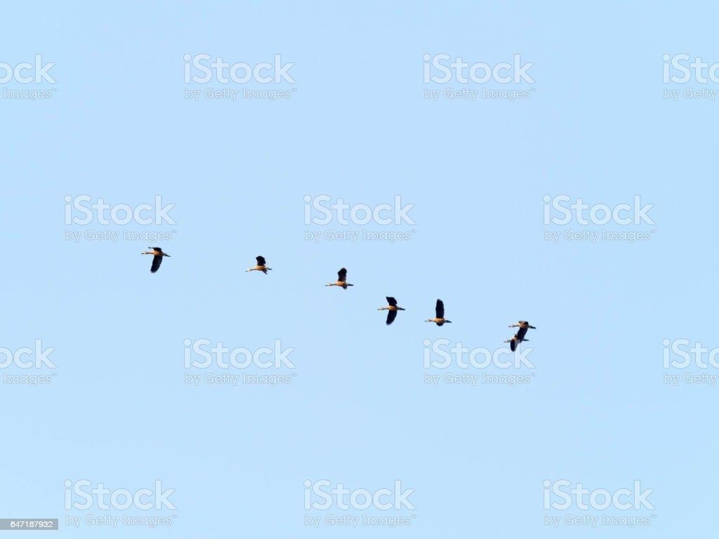 Ferruginous Pochard bird stock photo