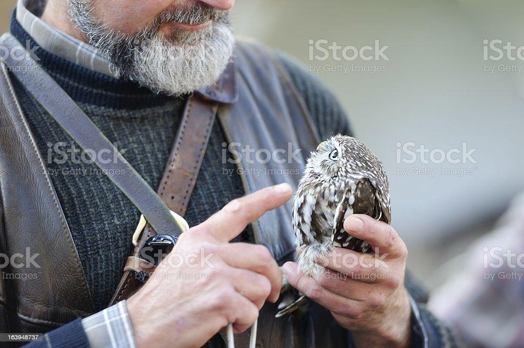 Ferruginous pygmy owl stock photo