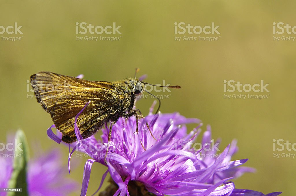 Ferruginous stubborn person butterfly on a meadow flower stock photo