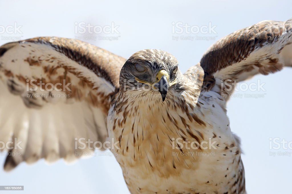 Ferrungous Hawk in Arizona desert royalty-free stock photo