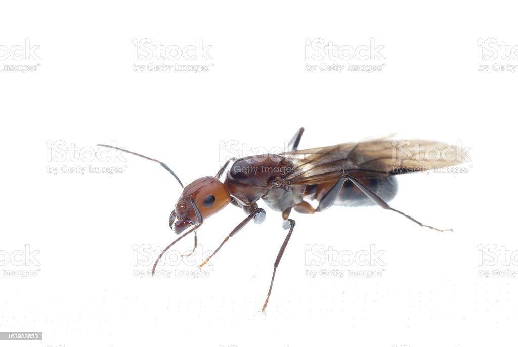 fertile ant royalty-free stock photo