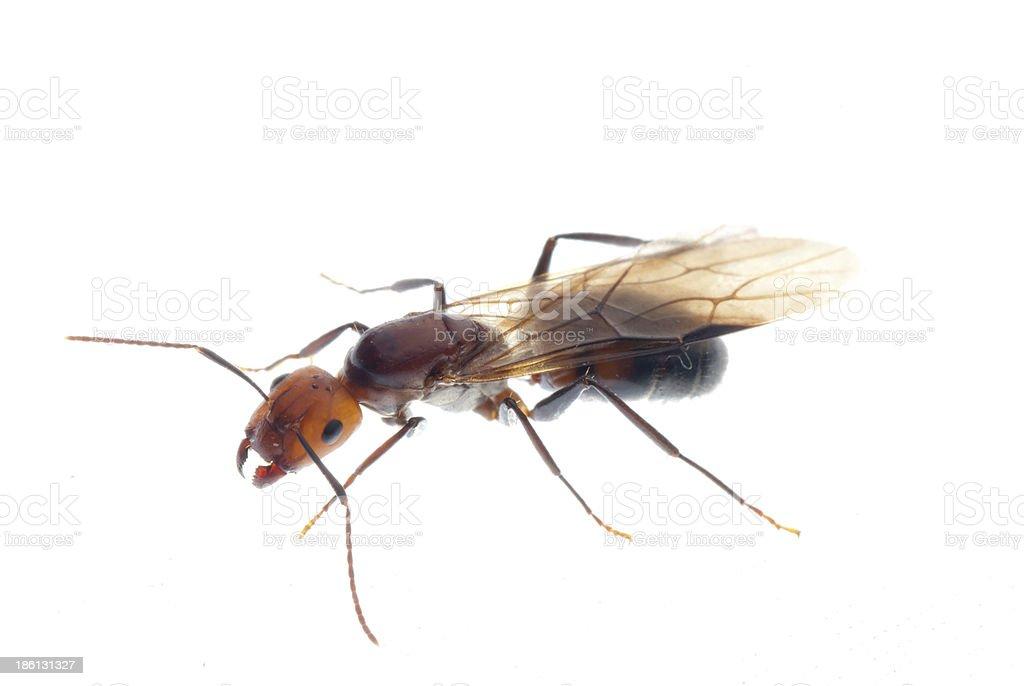 fertile ant royalty-free stock photo