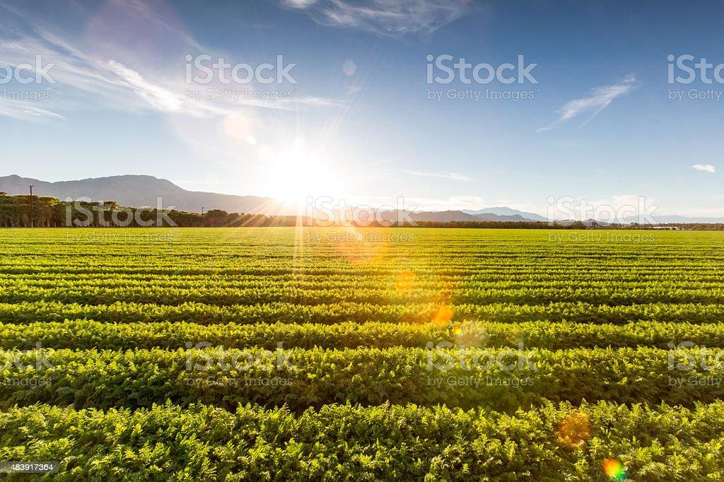Fertile Farm Field of Organic Crops Sunset stock photo