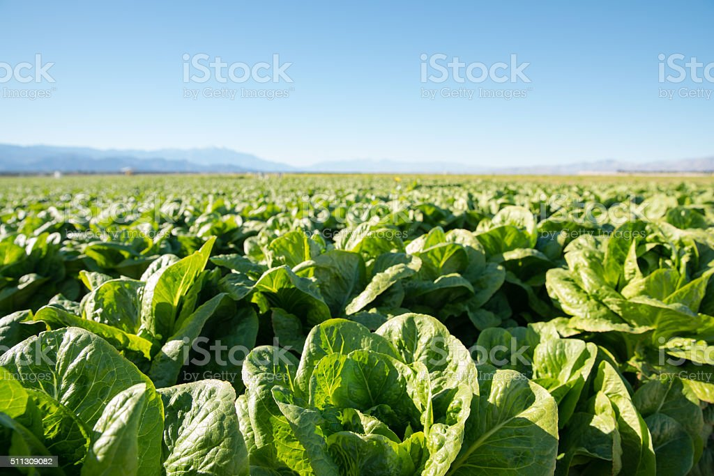 Fertile Field of Organic Lettuce Grow in California Farmland stock photo