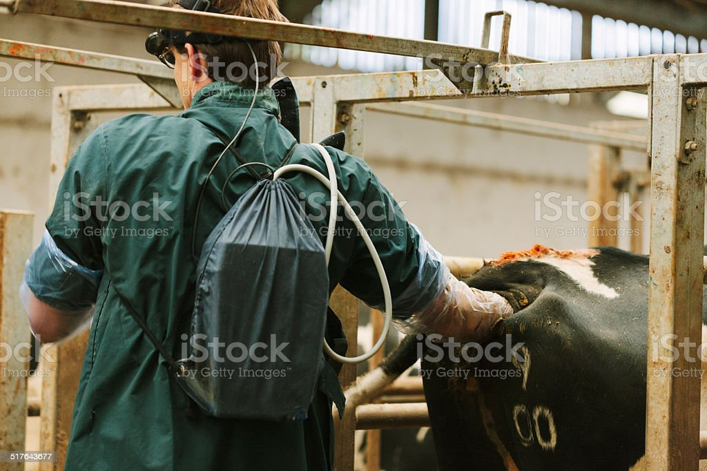 Fertility testing dairy cattle stock photo