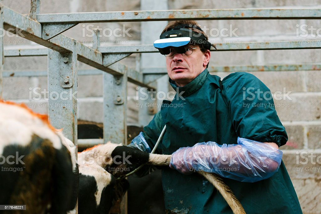 Fertility testing dairy cows stock photo