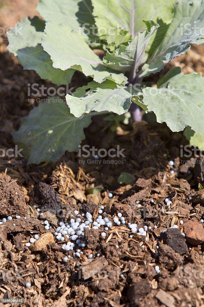 Fertilizing vegetable in garden royalty-free stock photo