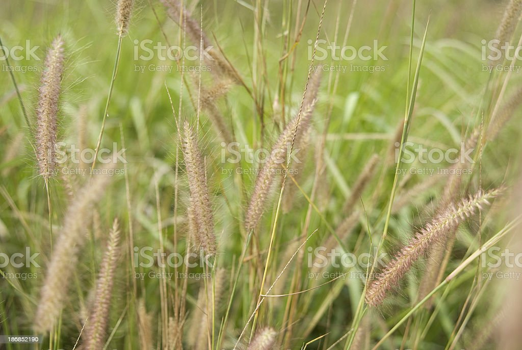 Fescue grass in the field royalty-free stock photo
