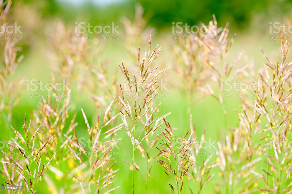 Fescue stock photo