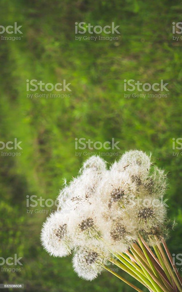 Festive bouquet of fluffy dandelions stock photo