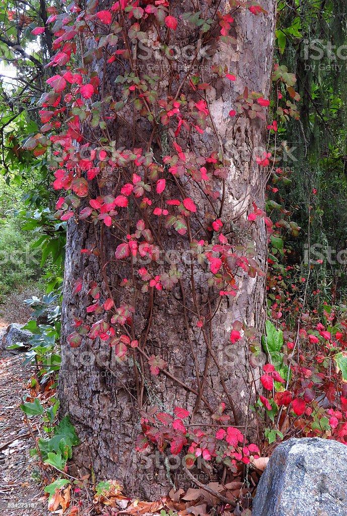 Festive Oak stock photo