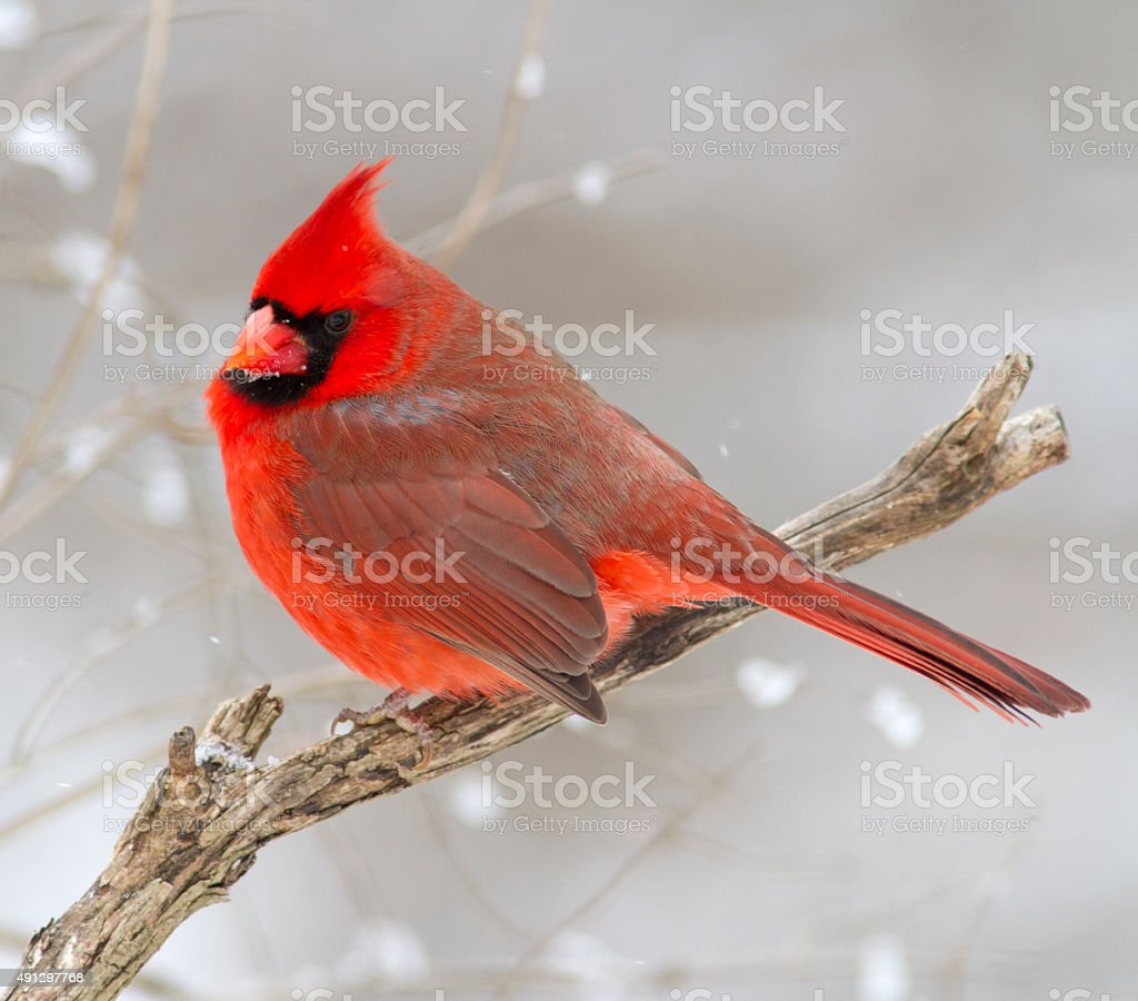 Festive Red Christmas Bird - Northern Cardinal in Snow stock photo