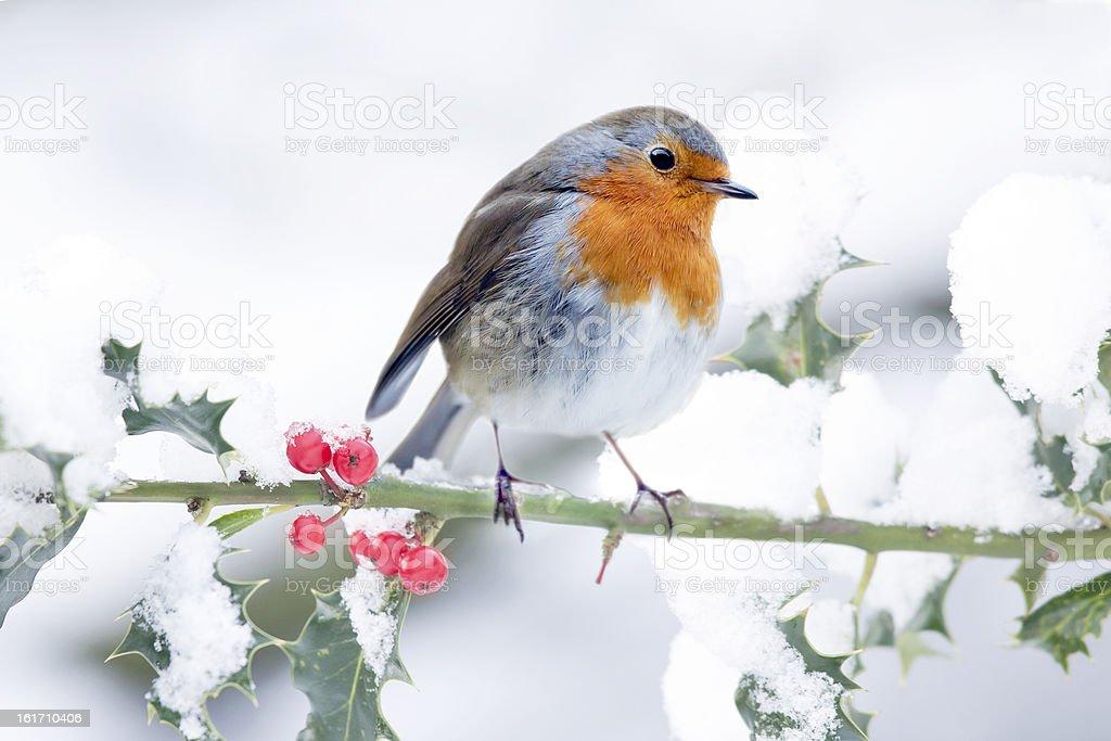 Festive Robin Scene stock photo