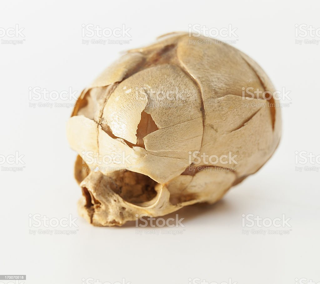 Fetus skull stock photo