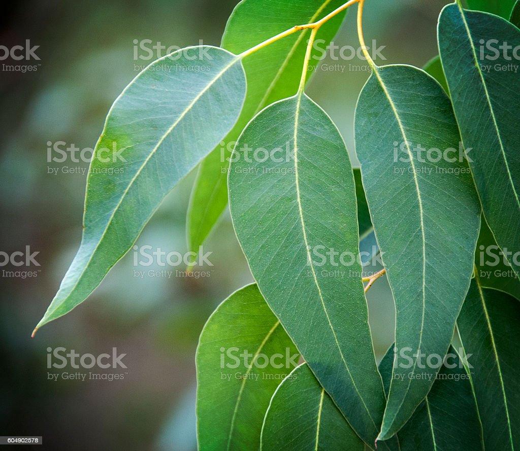 feuilles d'eucalyptus stock photo