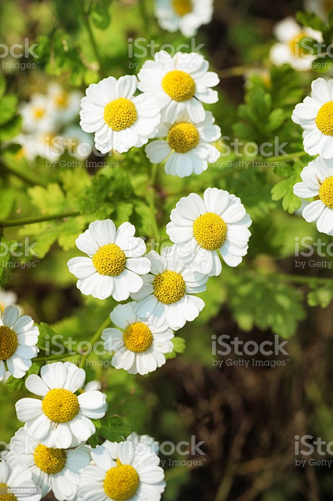 Feverfew blooms royalty-free stock photo