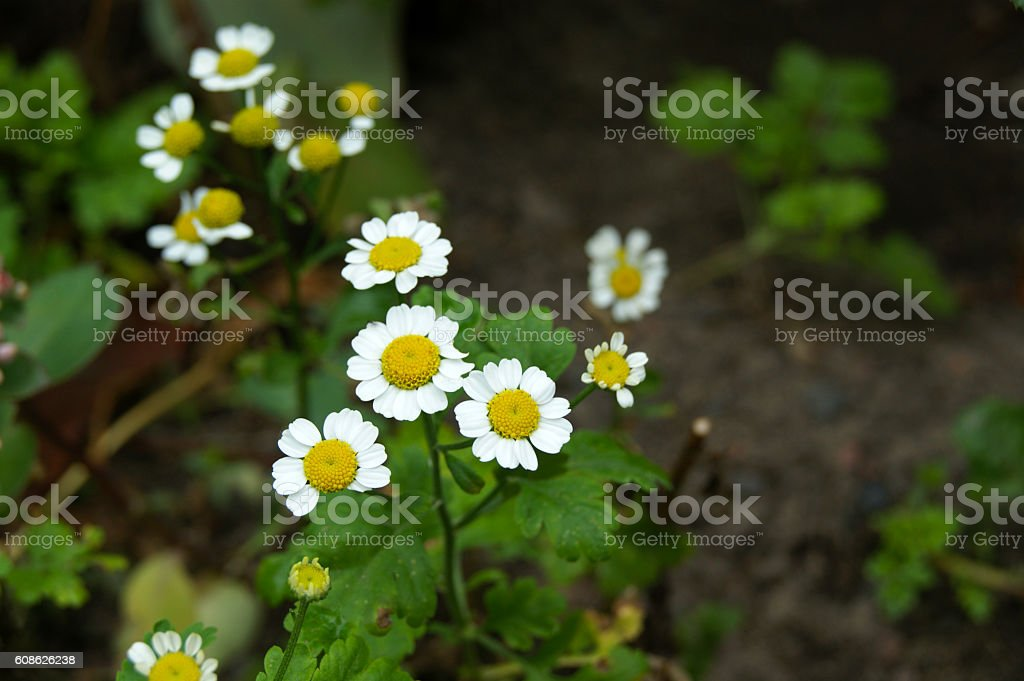 Feverfew flowers (or Bachelor's Buttons, Featherfew stock photo