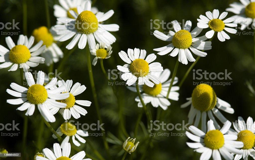 Feverfew (Tanacetum parthenium) royalty-free stock photo