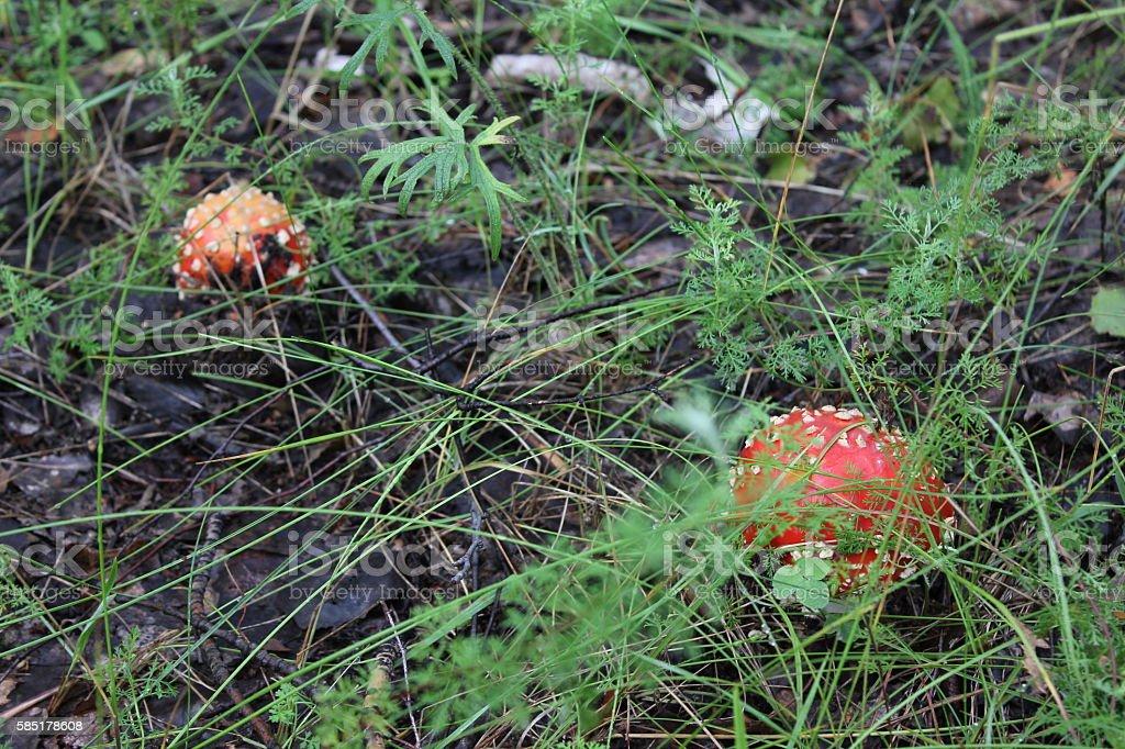 Few amanita mushrooms in forest glade 20049 stock photo