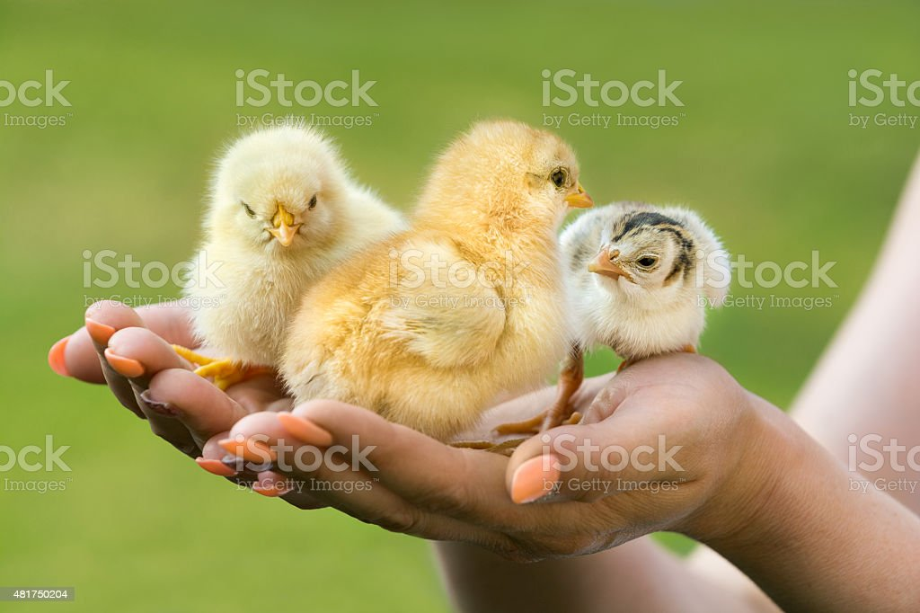 Few days old baby chickens in hands of women stock photo