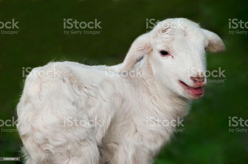 Few days old lamb on pasture stock photo