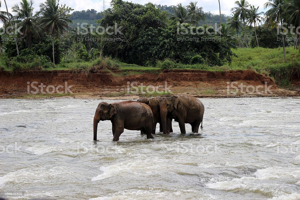 few elephants crosses the river royalty-free stock photo
