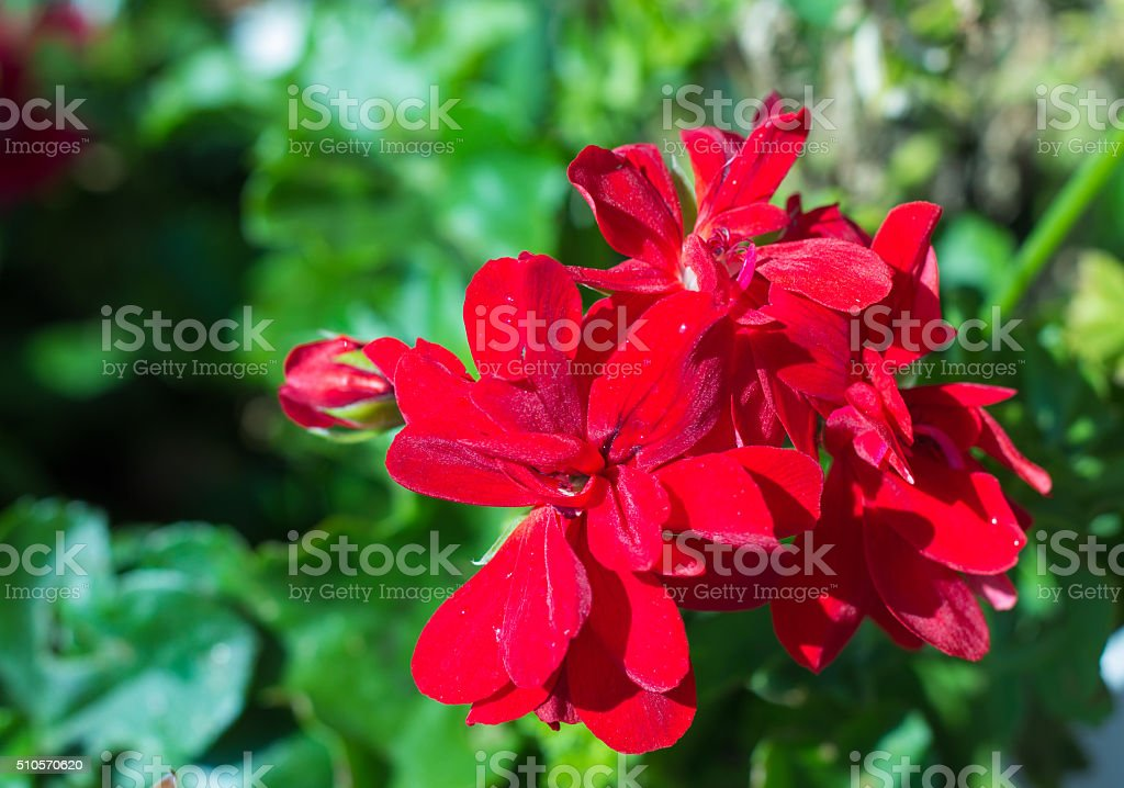 few flowers blooming red geraniums stock photo