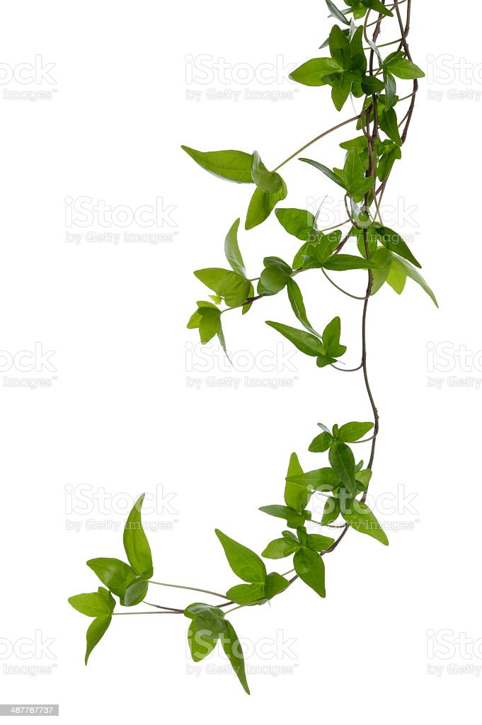 Few Ivy stems isolated over white. stock photo