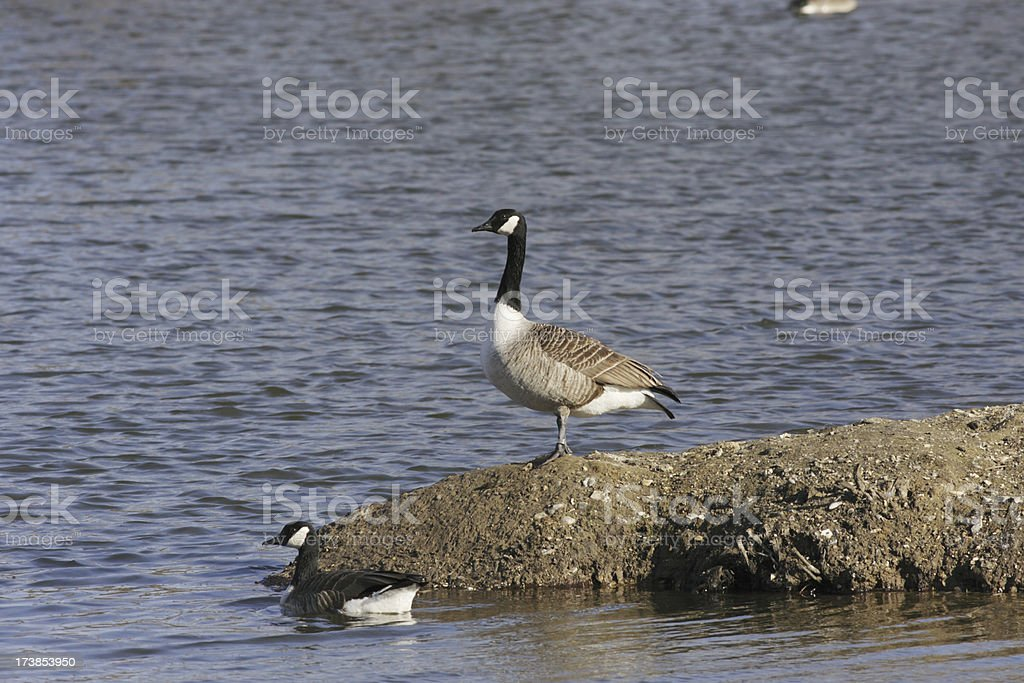 Bare landscape for Canada goose pair after desilting stock photo