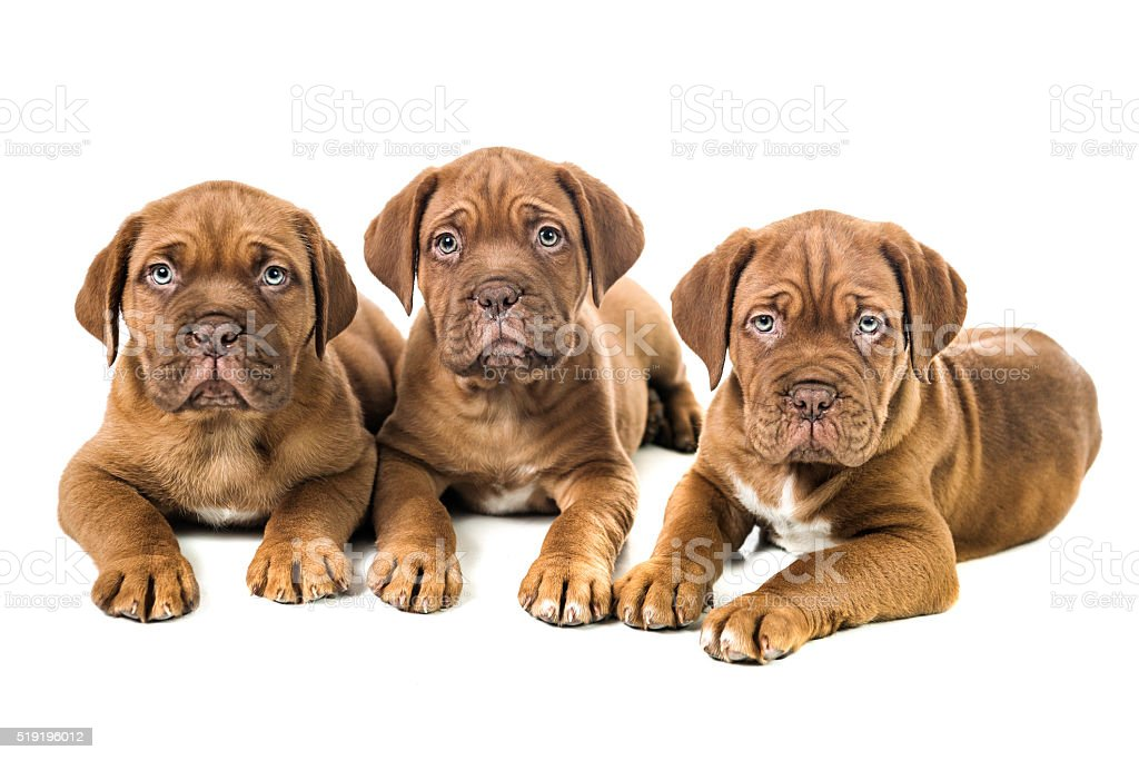 Few Weeks Old Dogue de Bordeaux Three Puppies on White stock photo